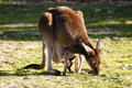 Kangaroo offspring australia with in pouch chewing on some grass Royalty Free Stock Photos