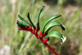 Kangaroo Paw Royalty Free Stock Photo