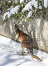Kangaroo playing in the snow Royalty Free Stock Photo