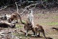Kangaroo pleasure - Tasmania Royalty Free Stock Image