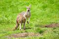 Kangaroo portrait Royalty Free Stock Images