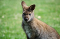 Kangaroo portrait closeup of a small cute or wallaby Stock Images