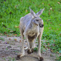 Kangaroo red crouching and looking around to the left Stock Photography
