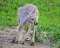 Kangaroo red crouching and looking around to the left Royalty Free Stock Photos