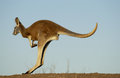 Kangaroo red macropus rufus drinking at a waterhole in the far west of nsw australia Stock Images