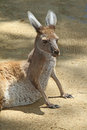 Kangaroo red supporting self on front legs Stock Image