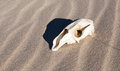 Kangaroo skull in sand western australian bone profile windblown with shadow Stock Image