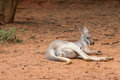 Kangaroo a sleep in zoo Stock Image