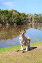 Kangaroo standing near the lake Stock Photography