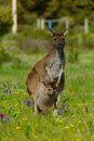 Kangaroo stepping on the brakes Royalty Free Stock Photography