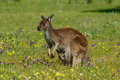 Kangaroo stepping on the brakes Royalty Free Stock Image