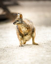 Kangaroo tammar wallaby beautiful or macropus eugenii Stock Photo