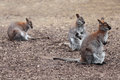 Kangaroo three macropus rufogriseus red necked wallaby Royalty Free Stock Photo