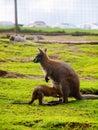 Kangaroo In The UK Zoo