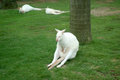 Kangaroo white is sleeping on the green grass in zoo Stock Photos