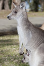 Kangaroo wild in typical pose australia Royalty Free Stock Photos