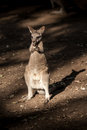 Little Kangaroo Australia native animal Royalty Free Stock Photo