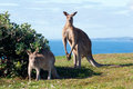 Kangaroos - Australia Stock Photos