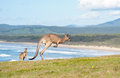 Kangaroos - Australia Royalty Free Stock Photos