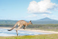 Kangaroos - Australia Royalty Free Stock Images