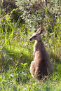 Kangaroos - Australia Stock Photo