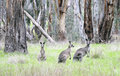 Kangaroos. Royalty Free Stock Photo