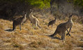 Kangaroos four sit and stare Stock Images