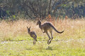 Kangaroos hopping away a mother and young kangaroo into the bush in new south wales australia Stock Photo