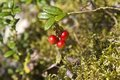 Karelian bilberry cluster of red or foxberry vaccinium idaea in taiga Royalty Free Stock Photo
