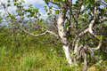 Karelian birch Royalty Free Stock Photo