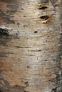 Karelian birch bark Royalty Free Stock Photo