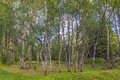 Karelian birches a shot of very rare which are famous for their valued wood Stock Photography