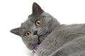 Kat met gele ogenclose up Royalty-vrije Stock Foto's