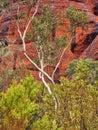 Kata Tjuta Red Rocks and White Ghost Gum, Northern Territory, Australia Royalty Free Stock Photo