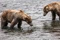 Katmai Brown Bears; Brooks Falls; Alaska; USA Royalty Free Stock Photo