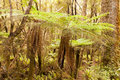 Katote Fern Tree in NZ sub-tropical rainforest Stock Photos