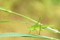 Katydid the green female on grass leaf Stock Photo