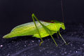 Katydid lesser angle wing walking Royalty Free Stock Photo