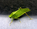 Katydid with rain drops Royalty Free Stock Photo