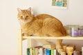 Katze mit rotem pelz Lizenzfreies Stockbild
