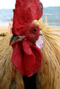Kauai rooster head close up at beach Royalty Free Stock Photography