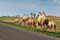 Kazakh camels graze grazing beside the road Royalty Free Stock Photo