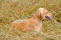 Kazakh greyhound brown tazi on a wheat field Royalty Free Stock Photography