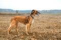 Kazakh greyhound Royalty Free Stock Photo