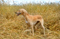 Kazakh greyhound tazi orange standing on a wheat field Stock Photography