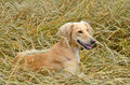 Kazakh greyhound tazi orange on a wheat field Stock Photo