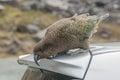 Kea Bird Royalty Free Stock Photo
