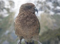 Kea Bird Royalty Free Stock Photo