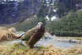 Kea bird in milford sound fjord land national park of south island new zealand Royalty Free Stock Photo