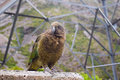 Kea Bird (Nestor notabilis), New Zealand Royalty Free Stock Image